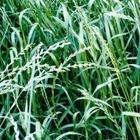 黑麦草种子畜牧草坪种子