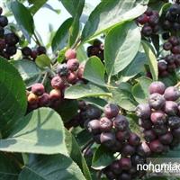 供黑果腺肋花楸(美国品种;黑果;不老莓)
