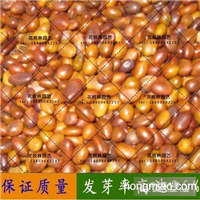 皂角种子皂荚种子大小皂角种子大量出售皂角、皂荚