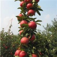 陕西苹果树