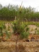 山西原平80一130厘米营养杯油松苗