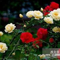 蔷薇,大花蔷薇,袋装月季
