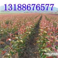 紫罗兰海棠