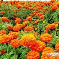 菊花种子 万寿菊 波斯菊 非洲菊