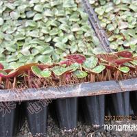 仙客来,瓜叶菊,报春种子已经采收,有需要的请联系