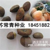 枇杷种子怎么种