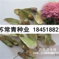 红枫种子价格