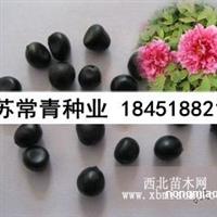 牡丹种子价格