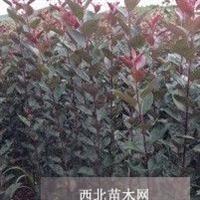 紫罗兰海棠苗