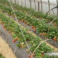 普通育苗的特点 草莓苗土、肥、水管理