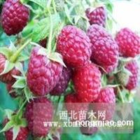 树莓 树莓苗 树莓种苗 树莓种植