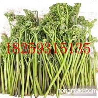蕨菜种苗价格