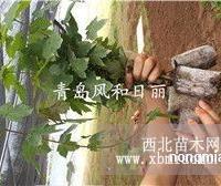 销售美国秋红枫扦插苗