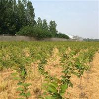 安兴盛苗圃大量供应樱花苗木