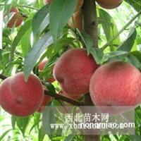 新乡柱状梨延津红肉苹果苗焦作核桃树杏苗桃苗长垣果苗