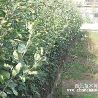 苹果苗提高光合效率 苹果树整形修剪的依据