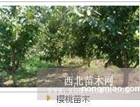 供应优质烟台大樱桃苗木