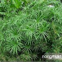 水竹是材用为主的材笋