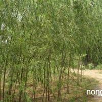 杨树柳树国槐等种穗
