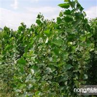 林盛苗木 常年供应绿化树葡萄苗等