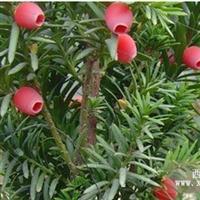 贵州曼地亚红豆杉苗木||曼地亚红豆杉