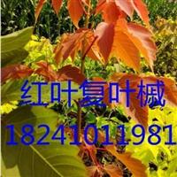吉林东丰红叶复叶槭苗|杨木林红叶糖槭苗
