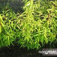 京桃,是一种优美的观赏树种