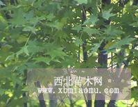 五角枫一种名贵的树种