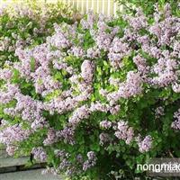 紫丁香 6-8年生成簇生长的丁香易于雕塑花型