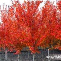 美国红枫种子价格