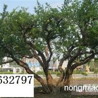 石榴古树,假植石榴树