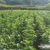 自产自销果树苗。绿化苗