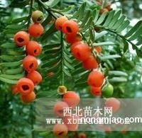 山东红豆杉供应