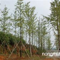 大量供应银杏 苗木园地6000亩