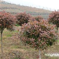 大量供应红叶石楠 2000亩园地