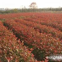 优质红叶石楠