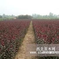 急售红叶碧桃一年苗