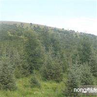 供应蒙古栎、五角枫、白桦树、云杉