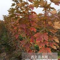 出售美国秋红枫一年苗