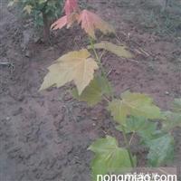 美国红枫枝条,是母体的继承者