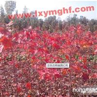 美国红点红枫有着精致的美