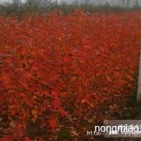 美国红点红枫,美得有魅力