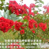 正宗美国紫薇/红火球紫薇