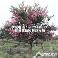 速生红花紫薇苗 长期供应大小规格