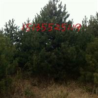 优质3米油松,3.5米油松山苗