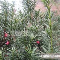 长期提供/曼地亚红豆杉/红豆杉价