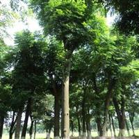 22公分移栽栾树25公分栾树价格