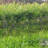 2-5公分樱花小苗  数量:5万
