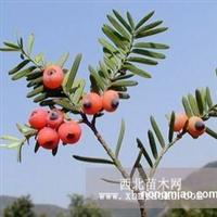 供应东北红豆杉(赤柏松)苗木