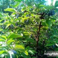 蓝靛果苗木种子